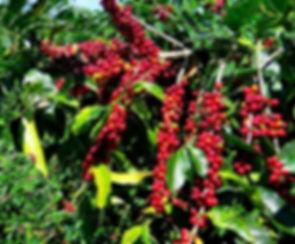 Coffea-Arabica-Seeds-Coffee-Bean-tropica