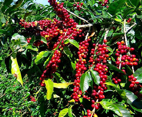 Coffea-Arabica-Seeds-Coffee-Bean-tropica