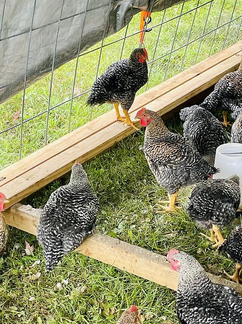 Chicken Preorder