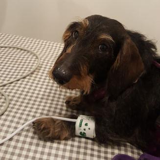 ¿Por qué es importante medir la presión arterial a mi mascota en las revisiones veterinarias?