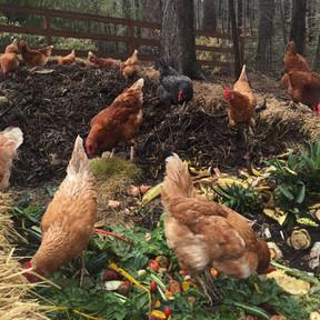 Chix-compost.jpg