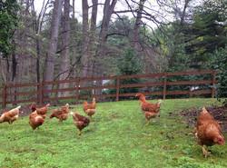 Free-Range-Chickens-1