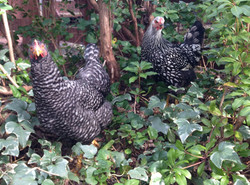 Free-Range-Chickens-9