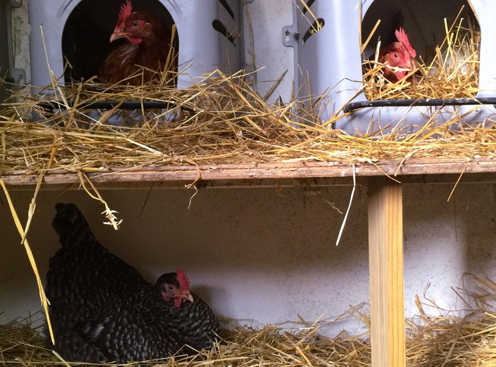 Free-Range-Chickens-5