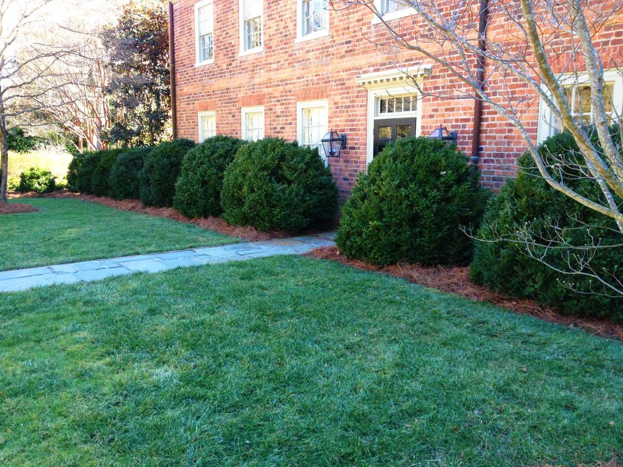 Boxwood Pruning