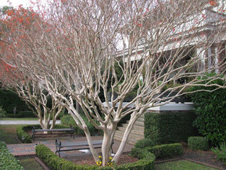 How should I prune my Crepe Myrtles?