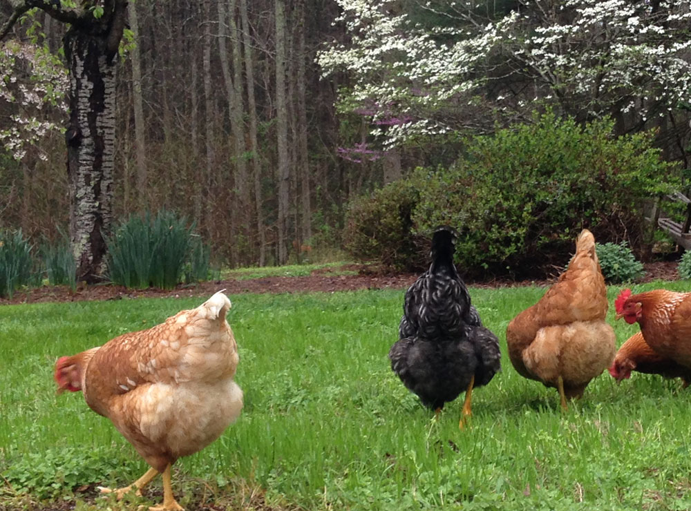 Free-Range-Chickens-3