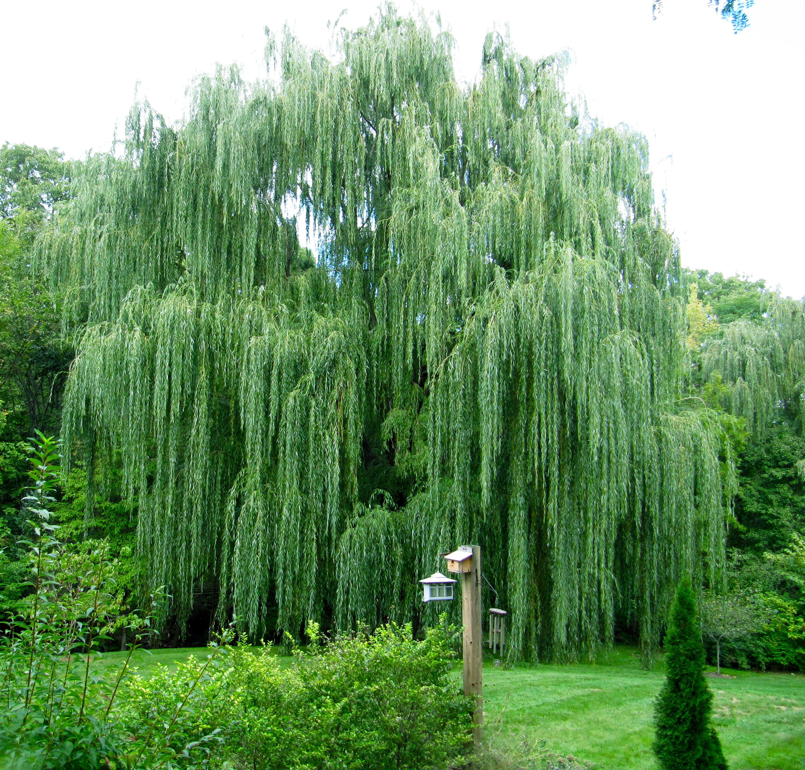 Grandmother Willow
