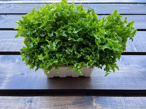 Frisée Lettuce; Organic
