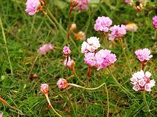 rosa Strand-Grasnelke