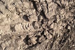 Fossil bei Byrum Raukar, Öland