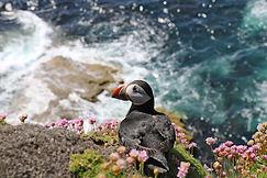 Puffin -Isle of Staffa
