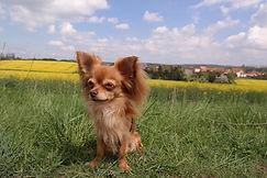 brauner Chihuahua vor Rapsfeld