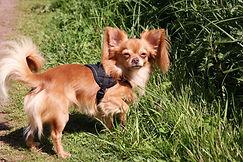 Chihuahua mit großen Ohren
