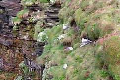Nistplätze Duncansby Head