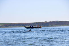 ​Delfine, Chanonry Point