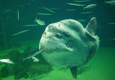 Mondfisch im Oceanarium