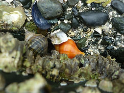 Muscheln im Miracle Beach, Vancouver Island