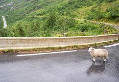 Schaf im Regen