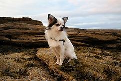 weißer Chihuahua am Strand von Embo