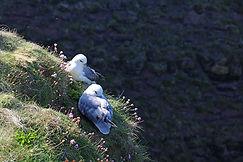 Möwen, Duncansby Head