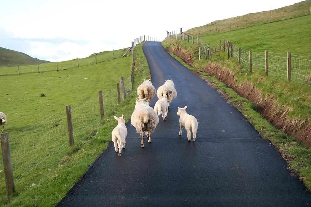 Schafe auf den schottischen Straßen