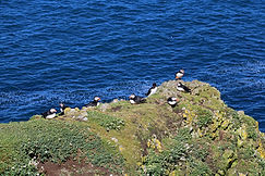 Puffins -Isle of Lunga