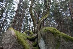 seltsamer Baum bei Kästeklippen