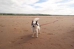weißer Chihuahua bei Belhaven Bay