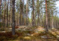der Blaubeerwald :-)