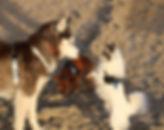 unsere Chihuahuas Gonzo und Baili