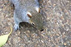 Grauhörnchen, Hye Park