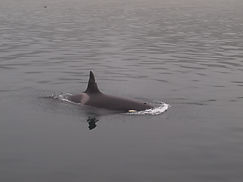 Orca bei Telegraph Cove, Vancouver Island