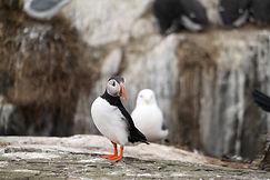 Papageientaucher Farne Islands