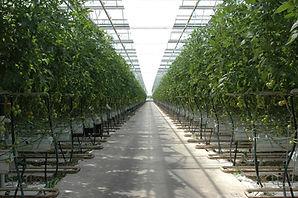 Tomatenkwekerij Van Heijningen B.V..jpg