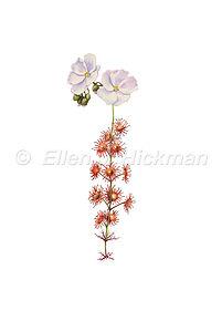 Drosera fimbriata (15x21)_1.jpg