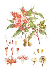 Eucalyptus ficifolia (15x21)_1.jpg