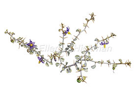 Solanum nummularium (15x21)_1.jpg