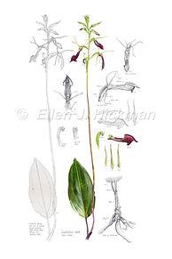 Slipper Orchid (10x15) copy.jpg