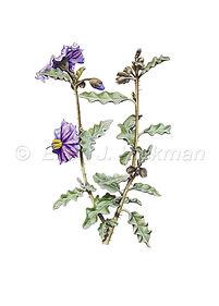 Solanum oldfieldii.jpg