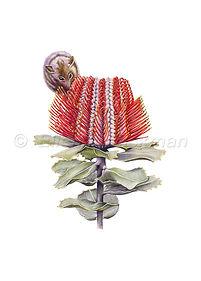Banksia coccinea & Honey possum (15x21)_
