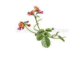 Kennedia coccinea (15x21)_1.jpg