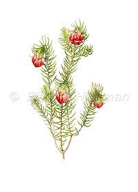 Darwinia wittwerorum (15x21)_1.jpg