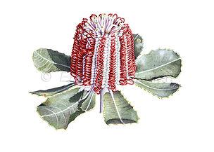Banksia coccinea (15x21)_1.jpg