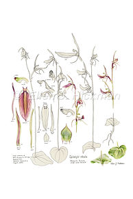 Mosquito Orchid study (10x15).jpg