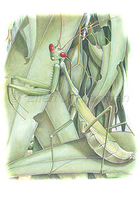 Praying mantis (15x21)_1.jpg