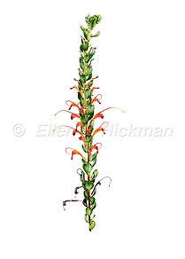 Adenanthos obovatus (15x21)_1.jpg