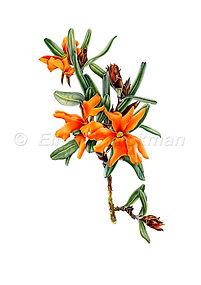 Hibbertia selkii (15x21)_1.jpg