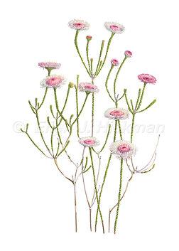 Actinodium calocephalum.jpg