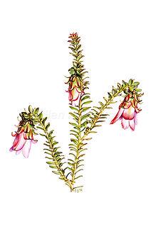 Darwinia squarrosa card.jpg